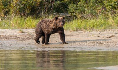 Ciclista sobrevive al ataque de un oso pardo en Alaska